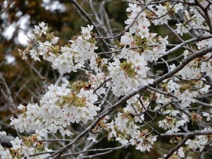 ソメイヨシノ(染井吉野)だけが、桜じゃない