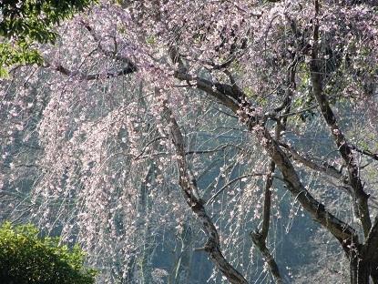 妖麗な枝垂れ桜