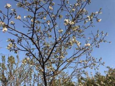 三浦縦貫道のPAの山桜