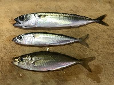 2019年5月26日 北条湾釣行 釣れた魚種