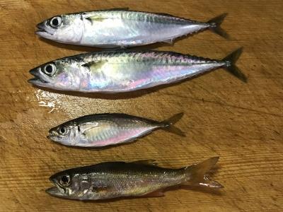 2019年6月23日 釣れた魚種