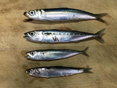 2019年5月3日 釣れた魚種