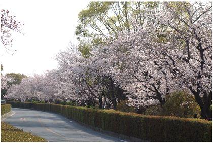 茨木市桜通り(元茨木川緑地のさくら) | タカへの個人的な日記-楽天 ...