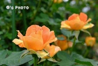 薔薇220190515