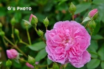 薔薇320190515