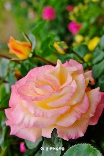 薔薇520190515