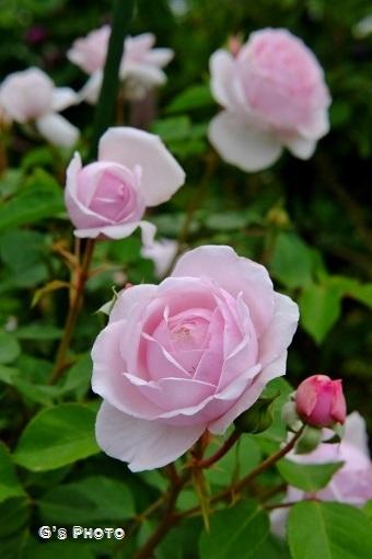薔薇620190515