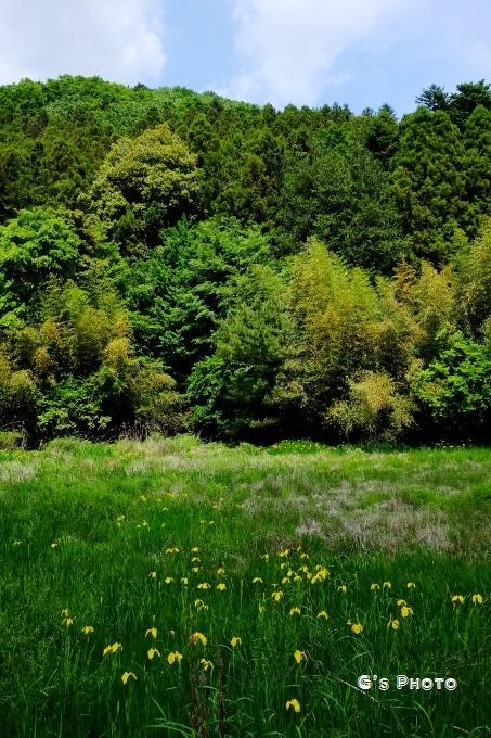 黄菖蒲の湿地20190515