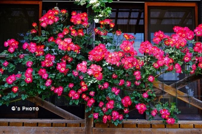 赤いバラ20190519