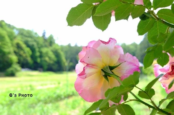 ピンクのバラ20190519