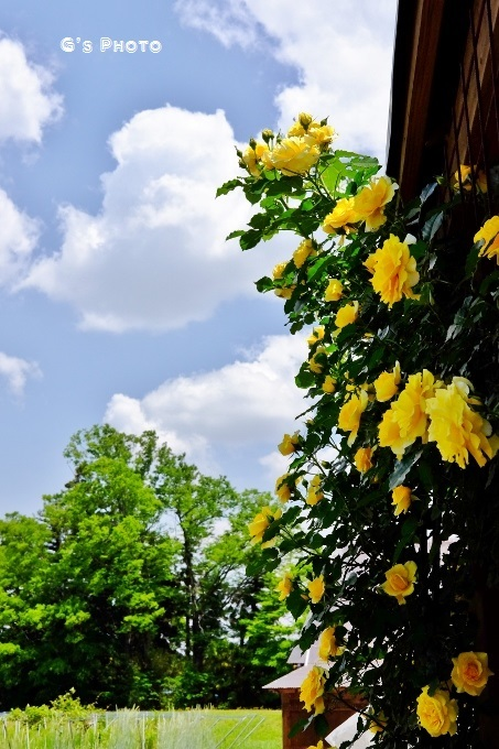 黄色の薔薇20190519