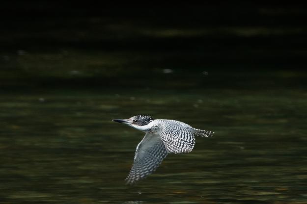 ヤマセミ飛翔