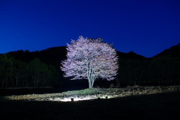 桧原の一本桜ライトアップ