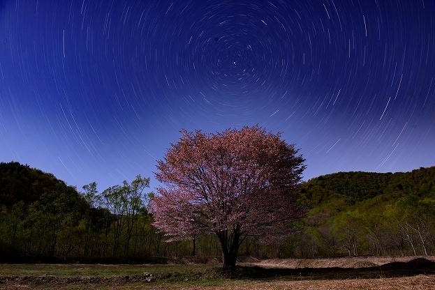 一本桜と星の光跡