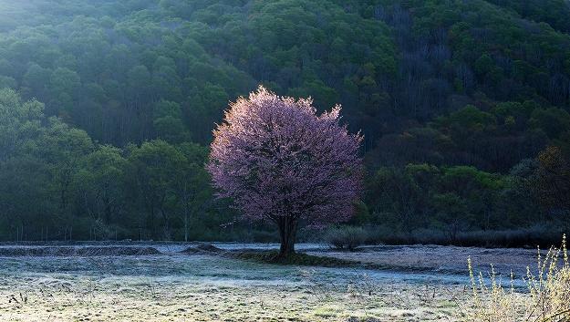 日の出を友に・桧原の一本桜