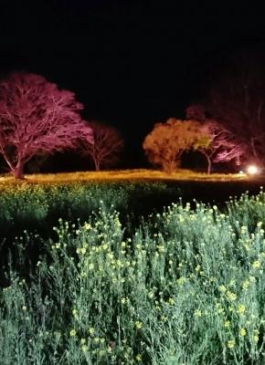 菜の花ライトアップ