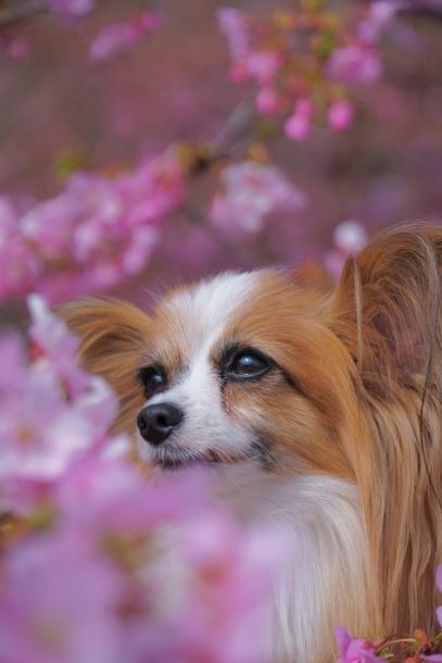 リリーちゃんと早咲き桜00070412