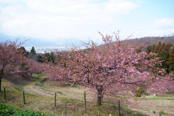 早咲き桜00070448