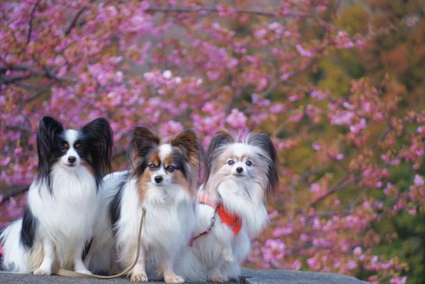 早咲き桜00070450