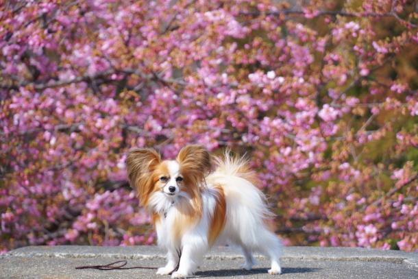 早咲き桜00070491