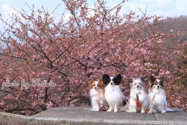早咲き桜リリーちゃんと一緒00071808