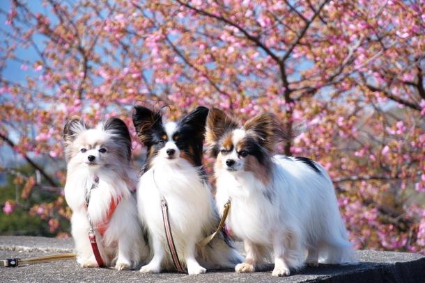 早咲き桜00070500