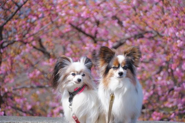 早咲き桜00070527