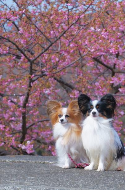 早咲き桜00070466