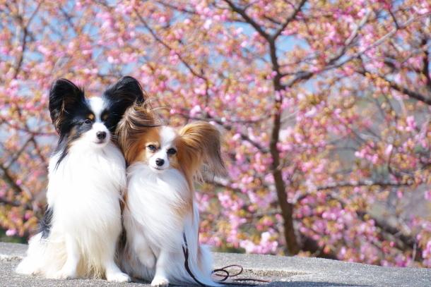 早咲き桜00070508
