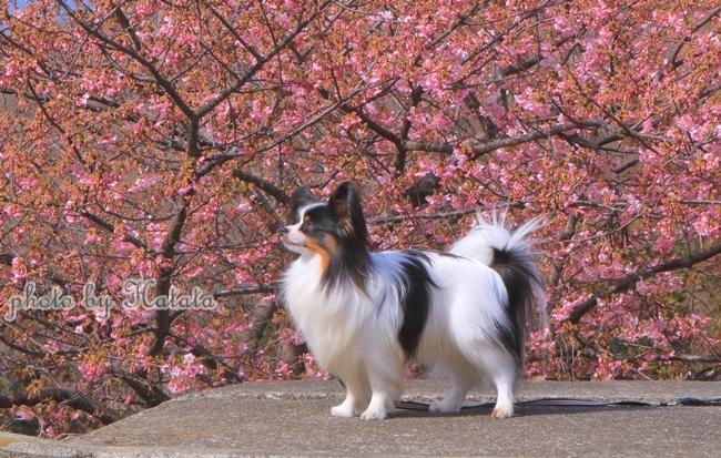 早咲き桜リリーちゃんと一緒00071829