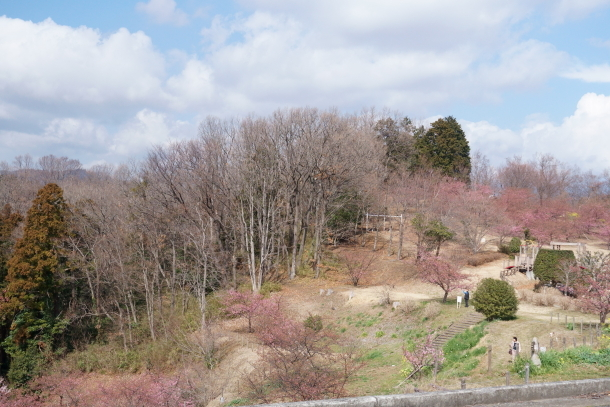 早咲き桜00070484