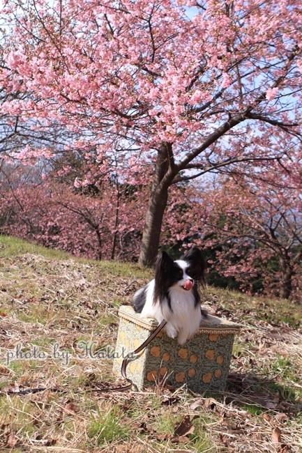 早咲き桜リリーちゃんと一緒00071890