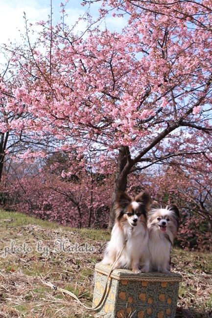 早咲き桜リリーちゃんと一緒00071892