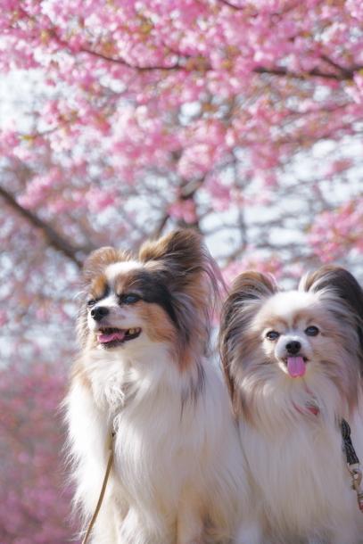 早咲き桜00070556