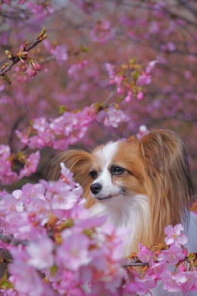 早咲き桜00070577