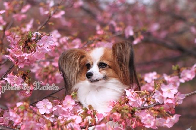 早咲き桜リリーちゃんと 一緒00070063