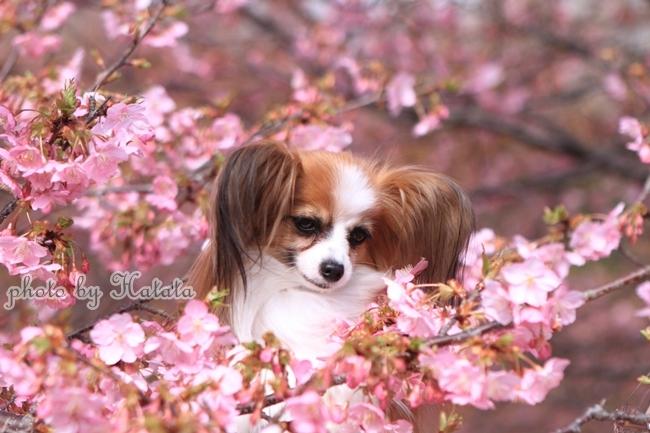 早咲き桜リリーちゃんと 一緒00070062