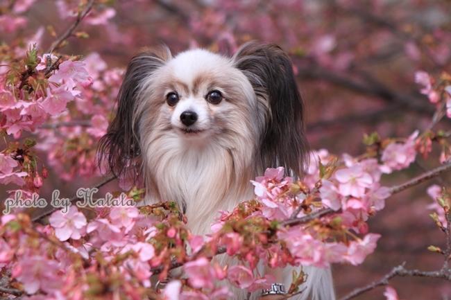 早咲き桜リリーちゃんと 一緒00070072