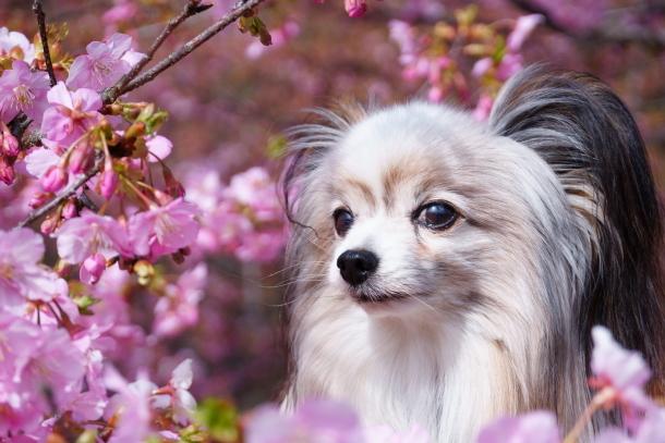 早咲き桜00070598