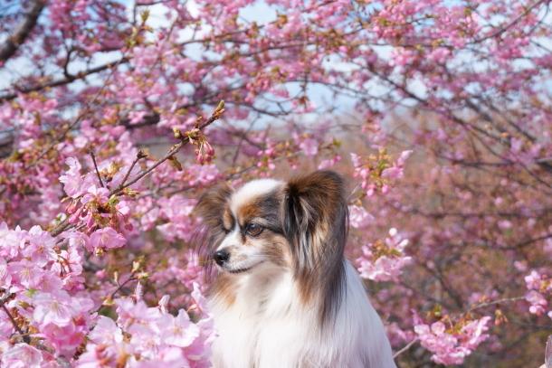 早咲き桜00070606