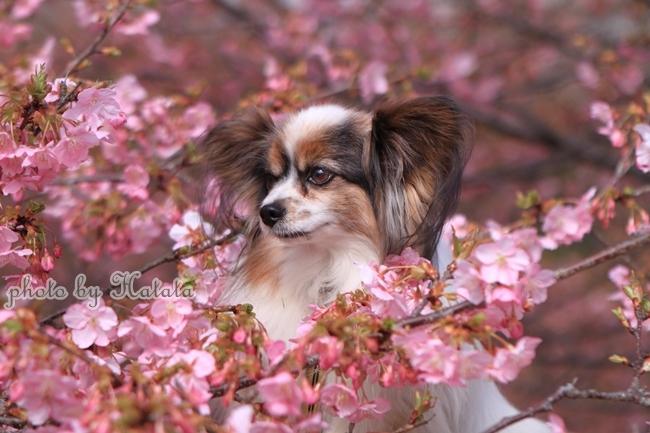 早咲き桜リリーちゃんと 一緒00070068