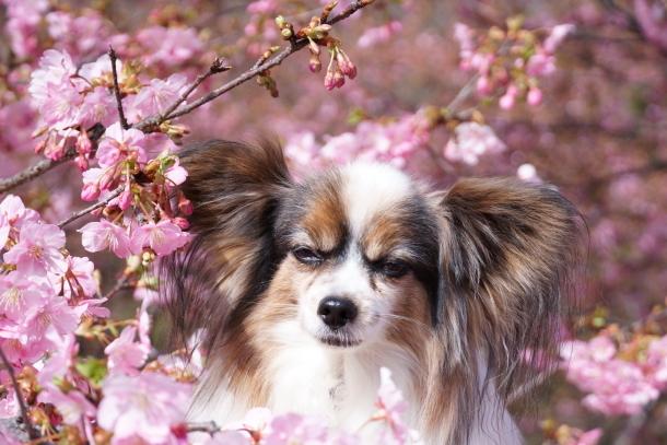 早咲き桜00070609