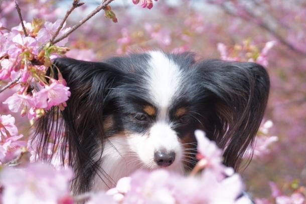 早咲き桜00070597