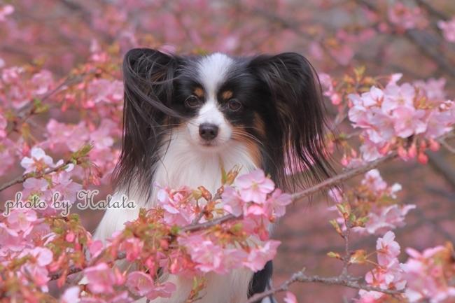 早咲き桜リリーちゃんと 一緒00070089