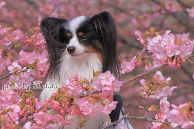 早咲き桜リリーちゃんと 一緒00070087