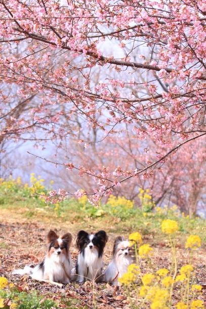早咲き桜201800042992