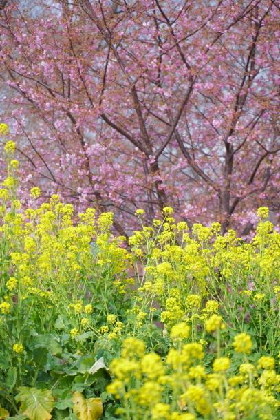 早咲き桜00070611