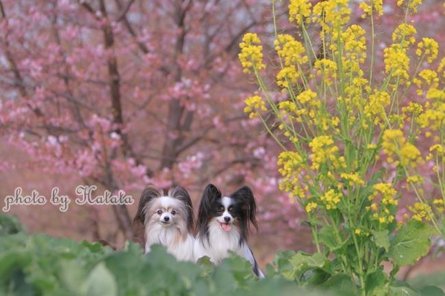 早咲き桜リリーちゃんと 一緒00070125