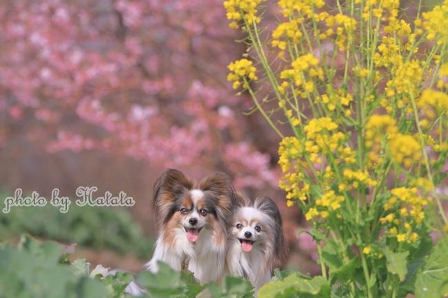 早咲き桜リリーちゃんと 一緒00070129