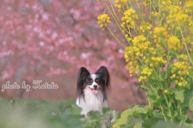早咲き桜リリーちゃんと 一緒00070136